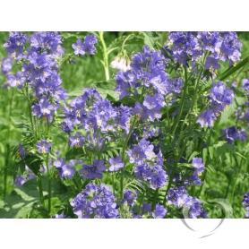 Синюха голубая  / Polemonium cаeruleum L.