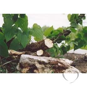 Тамус обыкновенный ( Адамов - корень) / Tamus communis L.