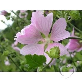 Алтей лекарственный / Althaea officinalis L.