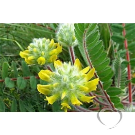 Астрагал шерстистоцветковый / Astragalus dasyanthus Pall.