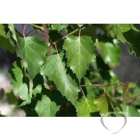 Береза повислая (лист) / Betulla pendula Roth