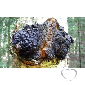 Чага (березовый гриб) / Inonotus oblyquus (Pers.) Pil.