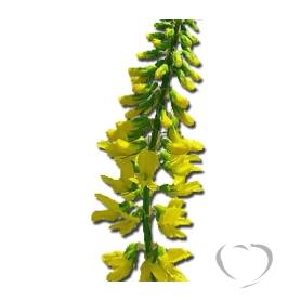 Донник лекарственный / Melilotus officinalis (L.) Pall.