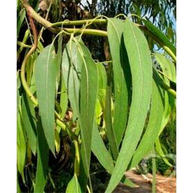 Эвкалипт шариковый / Eucalyptus globulus Labill.