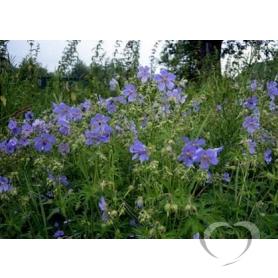 Герань луговая (журавельник) / Geranium pratense L.