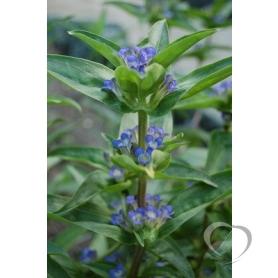 Горечавка перекрестнолистная (Gentiana cruciata L.)
