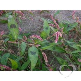 Горец почечуйный (почечуйная трава) / Polygonum persicaria L.