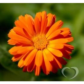 Календула лекарственная (ноготки) / Calendula officinalis L.