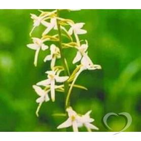 Любка двулистная (ночная фиалка)/ Platanthera bifolia (L) Rich.
