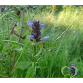 Буквица лекарственная / Betonica officinalis L.