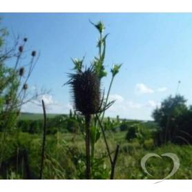 Водосбор обыкновенный / Aquilegia vulgaris L.