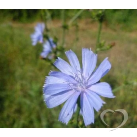 Цикорий обыкновенный / Cichorium intybus L.