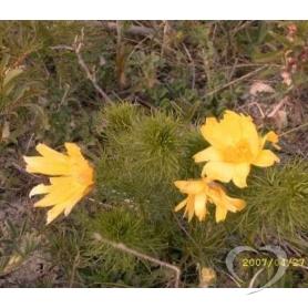 Адонис весенний (горицвет весенний) / Adonis vernalis L.