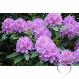 Рододендрон кавказский / Rhododendron caucasicum (L.)