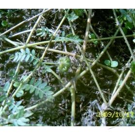 Якорцы стелющиеся / Tribulus terrestris L.