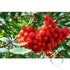 Рябина обыкновенная  / Sorbus aucuparia L.