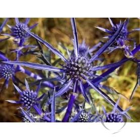 Синеголовник плосколистный / Eryngium planum L.