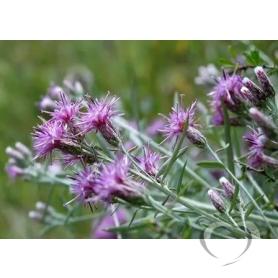 Соссюрея иволистная / Saussurea salicifolia