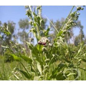 Чернокорень лекарственный (куриная слепота) / Herba Cynoglossi officinalis