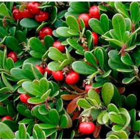 Толокнянка обыкновенная / Arctostaphylos uva-ursi L. Spreng.