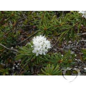 Багульник болотный / Ledum palustre