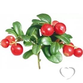 Брусника обыкновенная / Vaccinium vitis-idaea L.