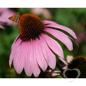 Эхинацея пурпурная / Echinacea purpurea Moench.
