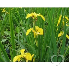 Касатик аировидный (ирис) / Iris pseudacorus L.