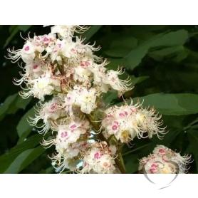 Каштан конский обыкновенный цвет/ Aesculus hippocastanum L.