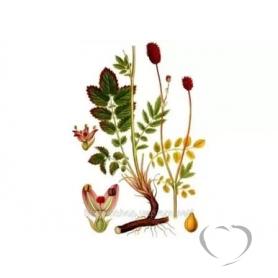 Кровохлебка лекарственная / Sanguisorba officinalis L.