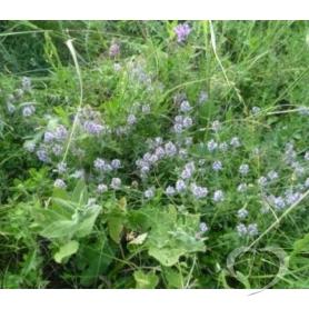 Тимьян ползучий (Чабрец, богородская травка) / Thymus serpyllum L.