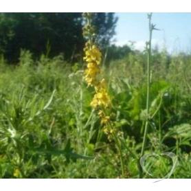 Репешок обыкновенный / Agrimonia eupatoria L.