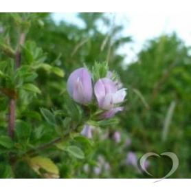 Стальник полевой / Ononis arvensis L.