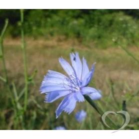 Цикорий обыкновенный(корень) / Cichorium intybus L.