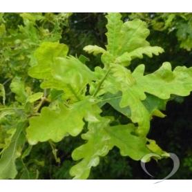 Дуб обыкновенный (кора) / Quercus roburL. (Q pedunculata Ehrh.)