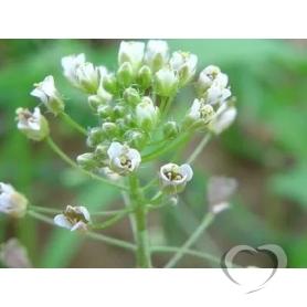 Пастушья сумка / Capsella bursa-pastoris L.