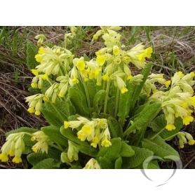 Первоцвет весенний  / Primula veris L.
