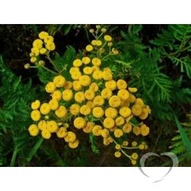 Пижма обыкновенная / Tanacetum vulgare L