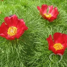 Пион узколистный / Paeonia tenuifolia L.