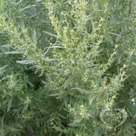 Полынь горькая / Herba  Artemisiae  absinthii