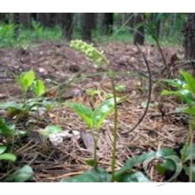Ортилия однобокая (боровая матка) / Orthilia secunda L