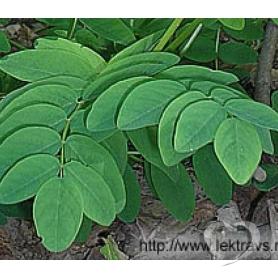Астрагал солодколистный / Astragalus glycyphyllos