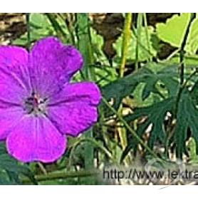 Герань кроваво - красная / geranium sanguineum l.