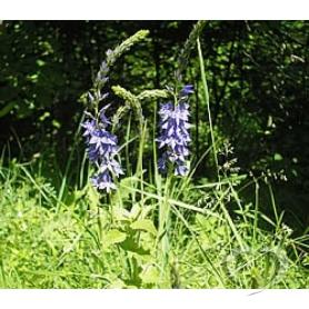 Вероника колосистая, вероника колосковая (Андреев крест, Андреева трава) / V. spicata