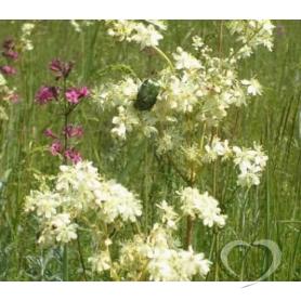 Лабазник вязолистный (трава)  / Flores Filipendulae ulmariae L.Maxim