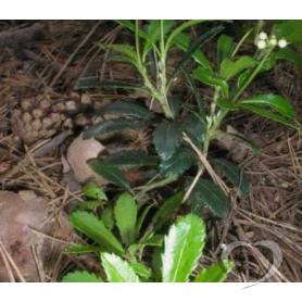Зимолюбка зонтичная / Chimaphila umbellata