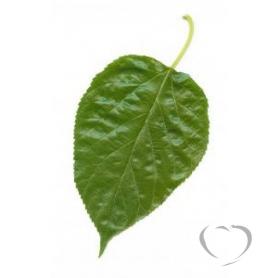 Шелковица чёрная (тута, тутовник) / Morus nigra L.