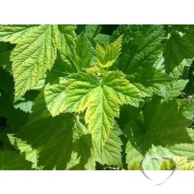 Смородина черная / Folia Ribis nigri