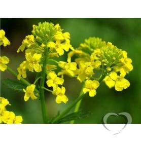 Сурепка обыкновенная / Barbarea vulgaris