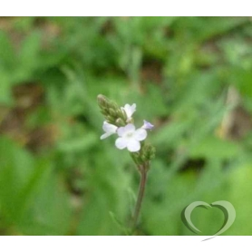 Вербена лекарственная / Verbena officinalis L.